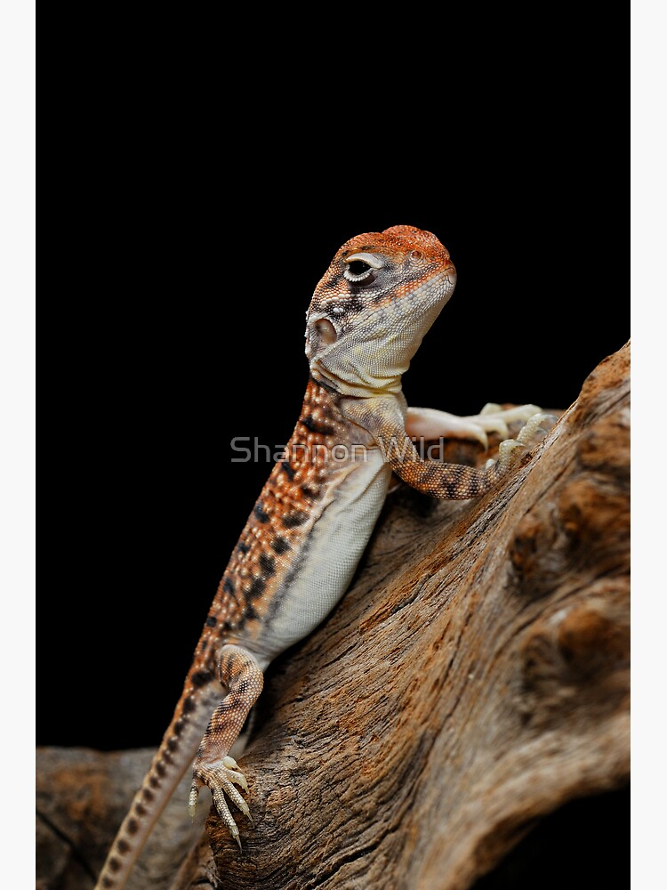 Central Netted Dragon [Ctenophorus nuchalis] by ShannonPlummer