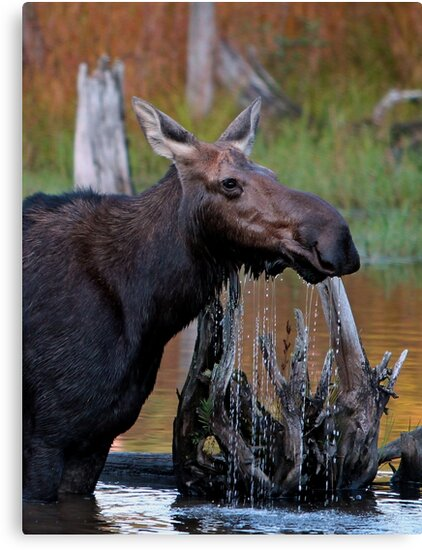 Maine Moose cow in the water by Enola Wagner