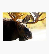 Big Bull Maine Moose Photographic Print
