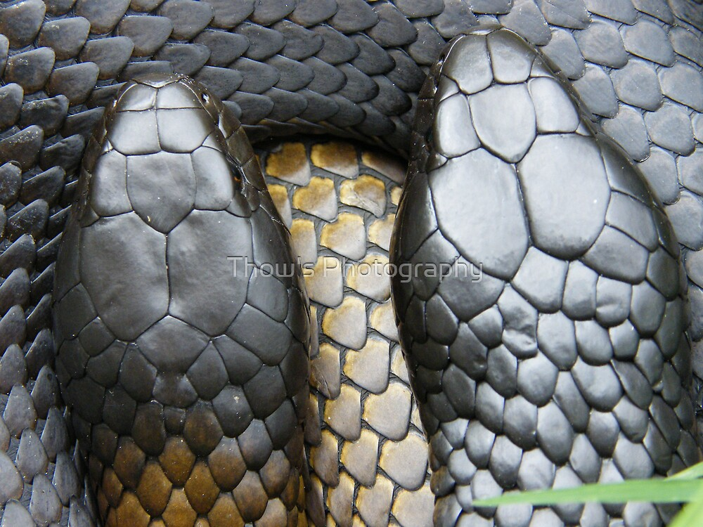 Male and Female Tiger snakes by Thow's Photography