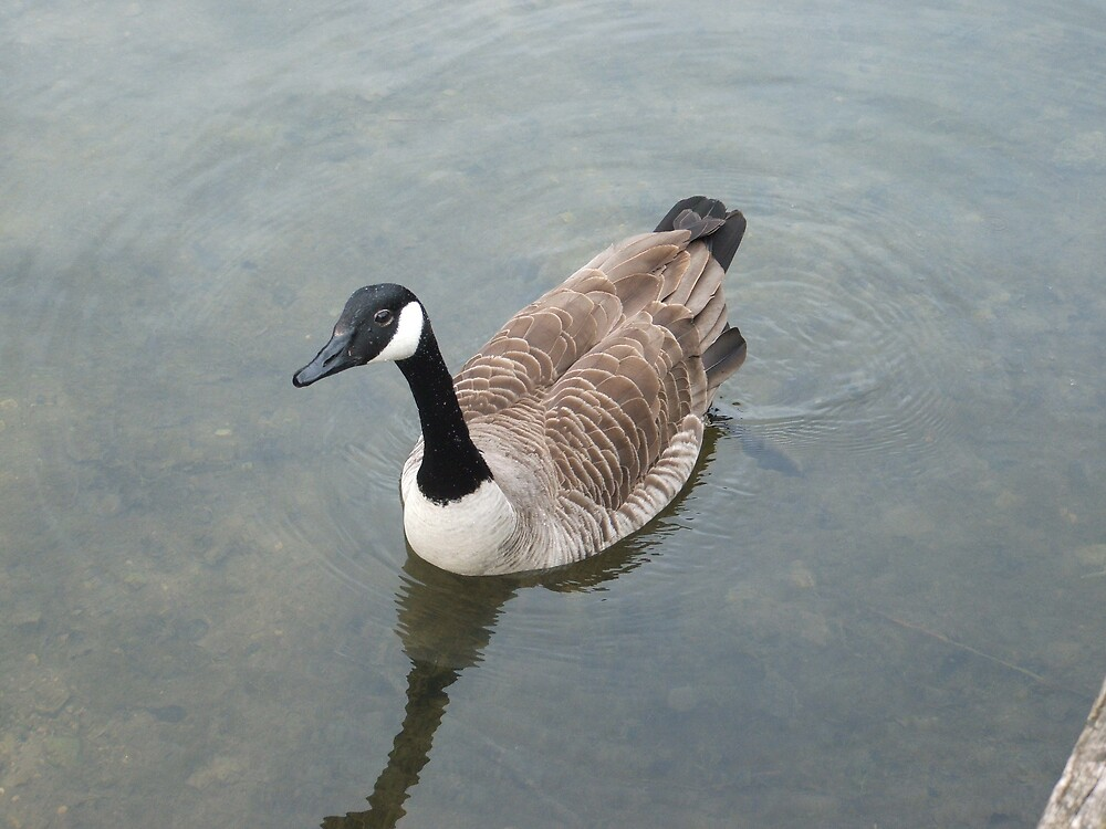 Canadian Goose by TedsPhotos