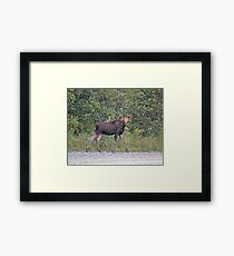 Maine Moose young bull Framed Print