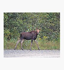 Maine Moose young bull Photographic Print