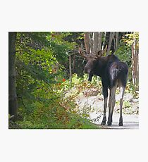 Young Maine Moose bull Photographic Print