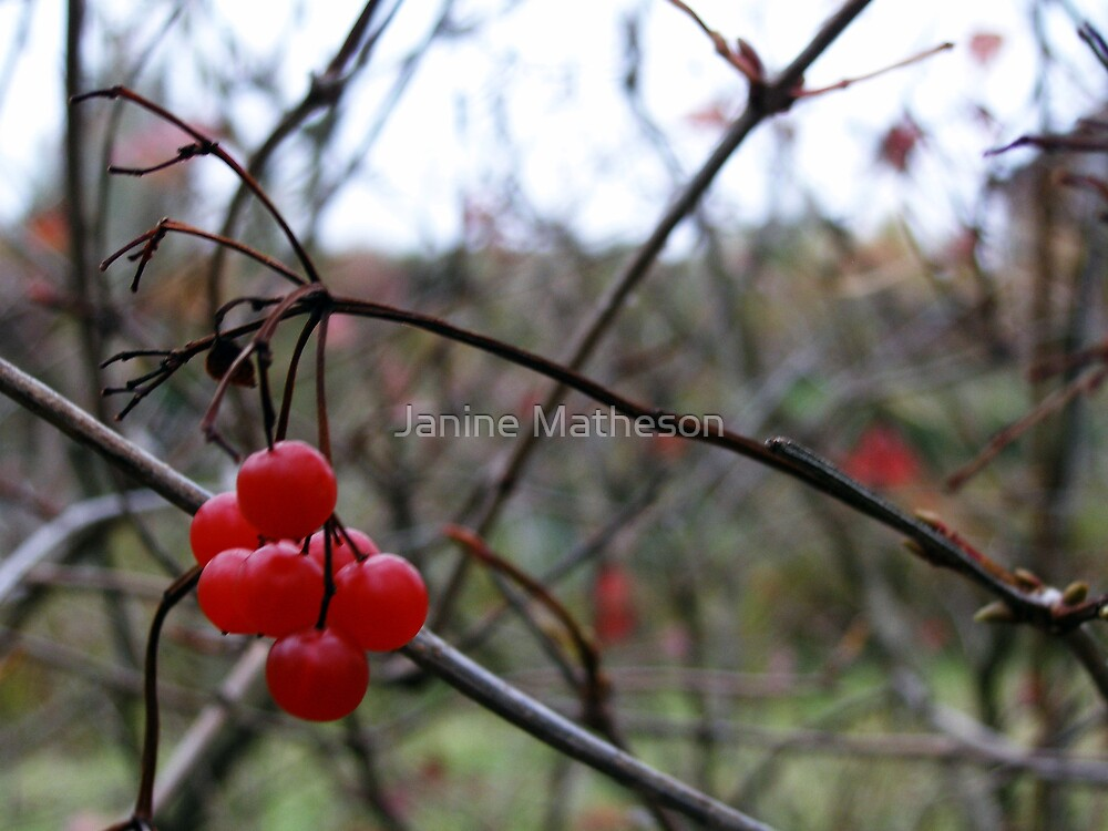 winter berries by Janine Matheson