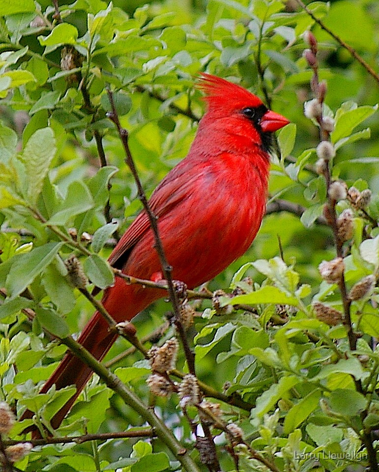 My Cardinal.... They are everywhere!  by Larry Llewellyn