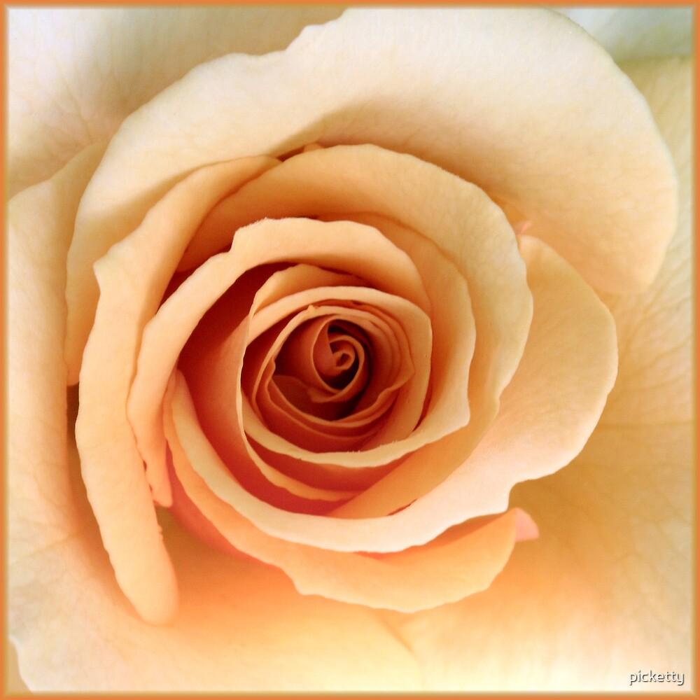 beautiful apricot- rose (Marilyn Monroe) by picketty