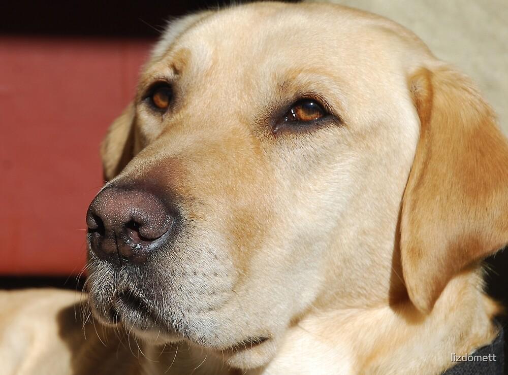 Labrador by lizdomett