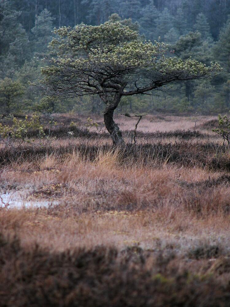 'pine' by Petri Volanen