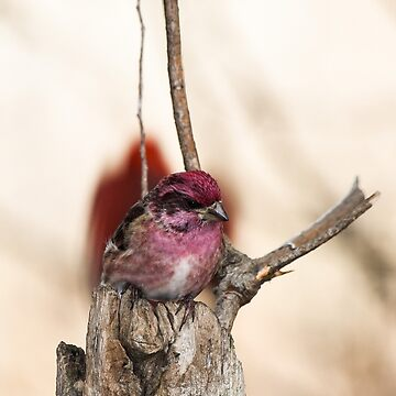 Male Purple Finch by nscphotography