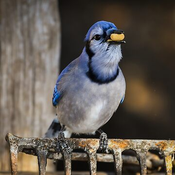 Blue Jay eating peanuts by nscphotography