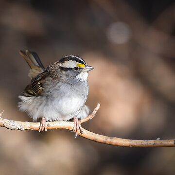 White throated sparrow by nscphotography