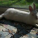 White rabbit - sparkle dozing by chico123
