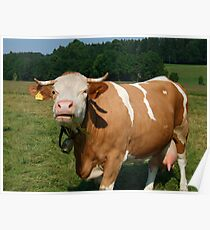 Cow in Upper Bavaria Poster