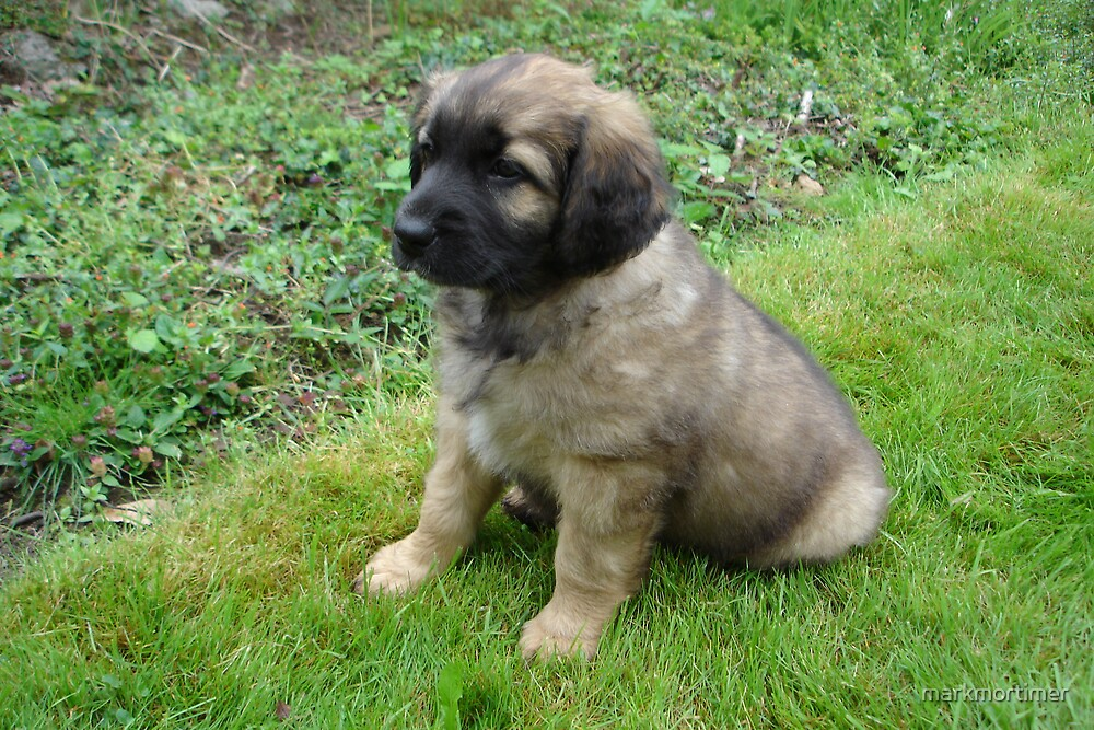 Little Leonberger by markmortimer
