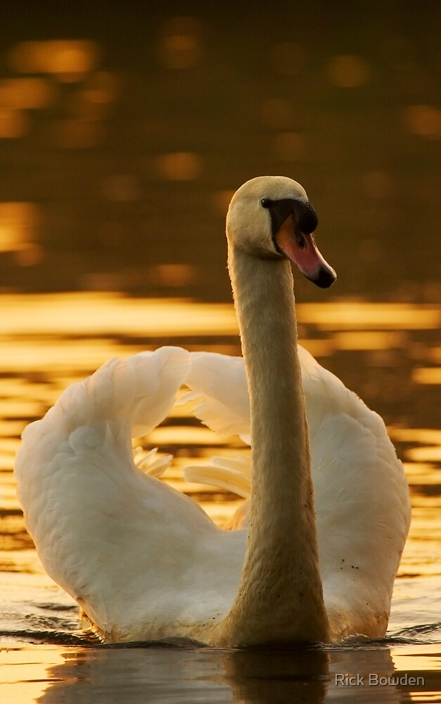 Evening Swan by Rick Bowden