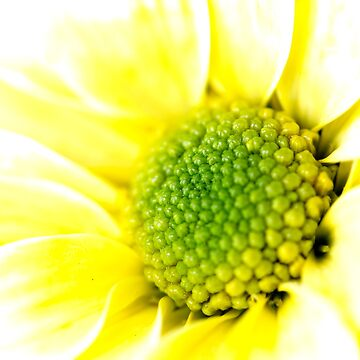 Yellow Daisy Macro Photography by EKartPrints