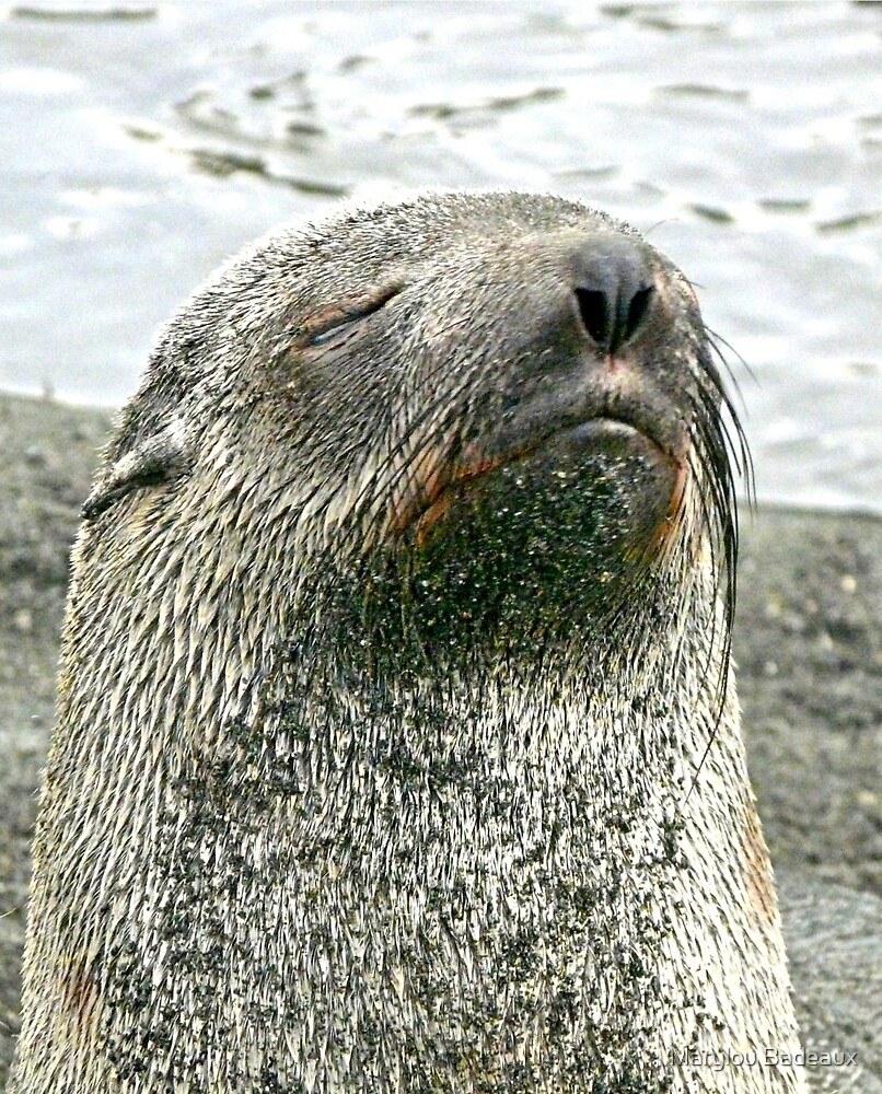Seal close-up by Marylou Badeaux