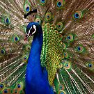 Peacock on Display by John Wallace