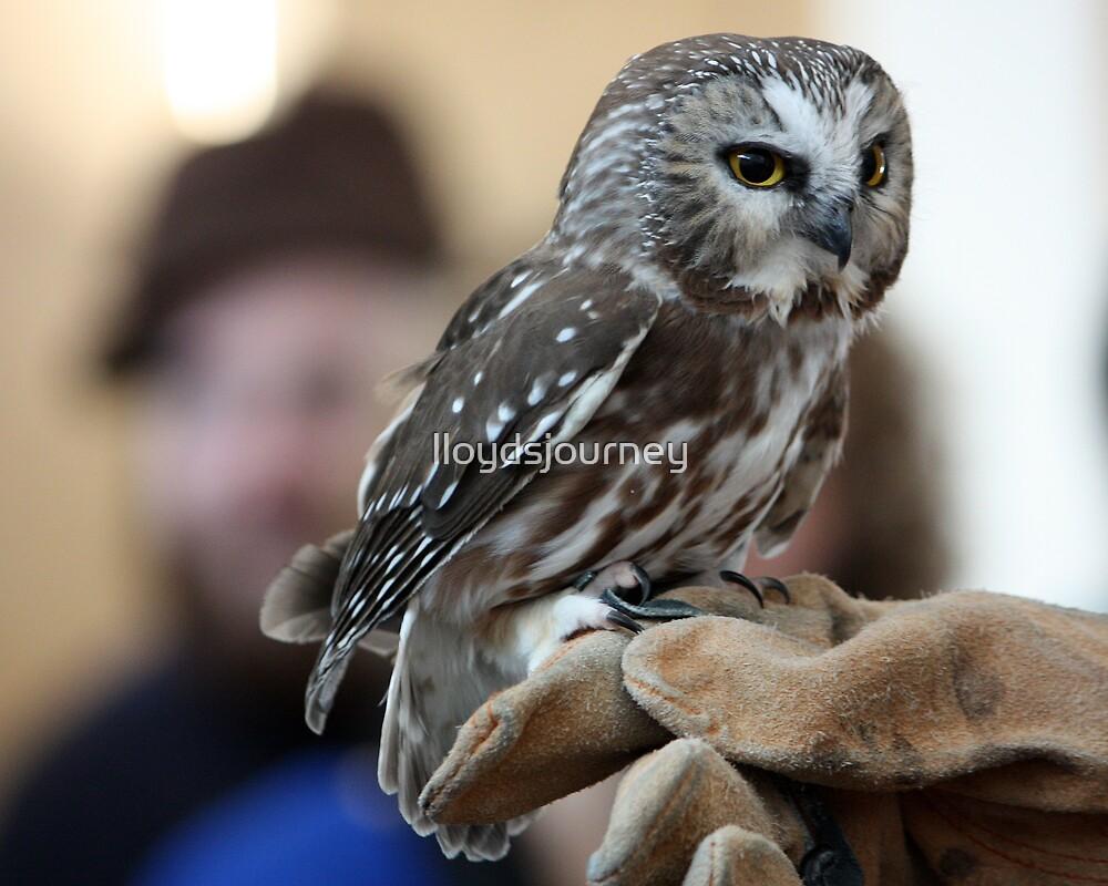 Northern Saw-Whet Owl by lloydsjourney