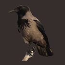 Hooded Crow Isolated by taiche