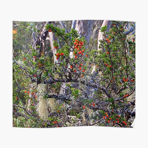 FAGUS ~ SCENES & SCENERY ~ Lichen and Berries by tasmanianartist Poster