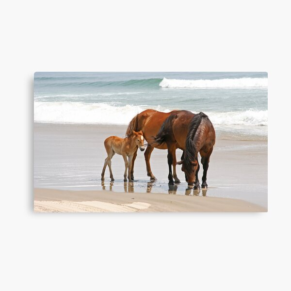 Family of Wild Horses on the Beach Canvas Print