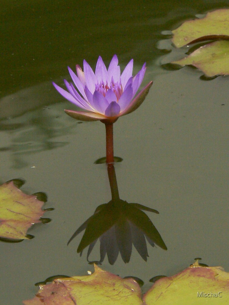 Lavendar Waterlily with Reflection by MischaC