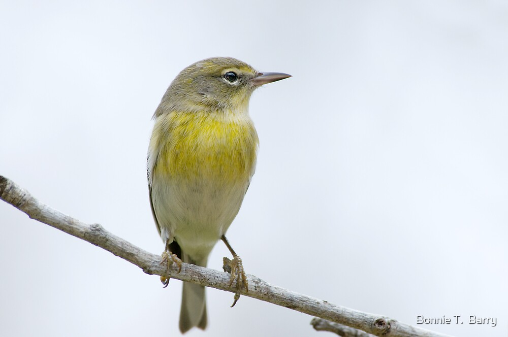 Little Warbler by Bonnie T.  Barry