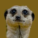 Meerkat Face by Dave  Knowles