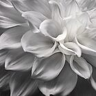 Dahlia in Black and White by Marilyn Cornwell