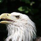 Eagle by Karl R. Martin