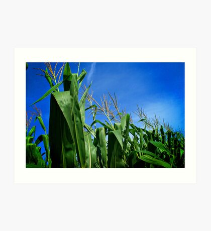 Corn Field In Blue Sky Art Print