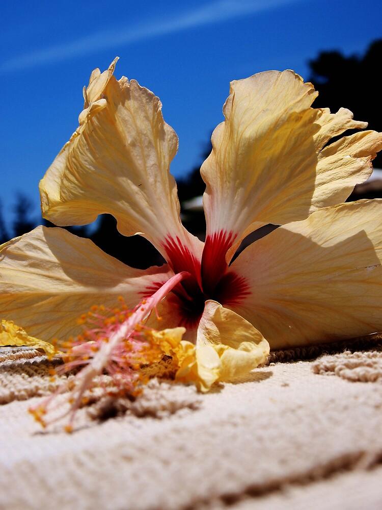 Creamy Yellow Frangipani by DavidCThomson
