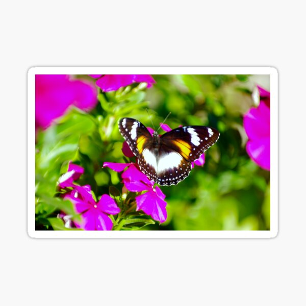 Lady Butterfly Visitor - Common Eggfly (Hypolimnas Bolina) Sticker