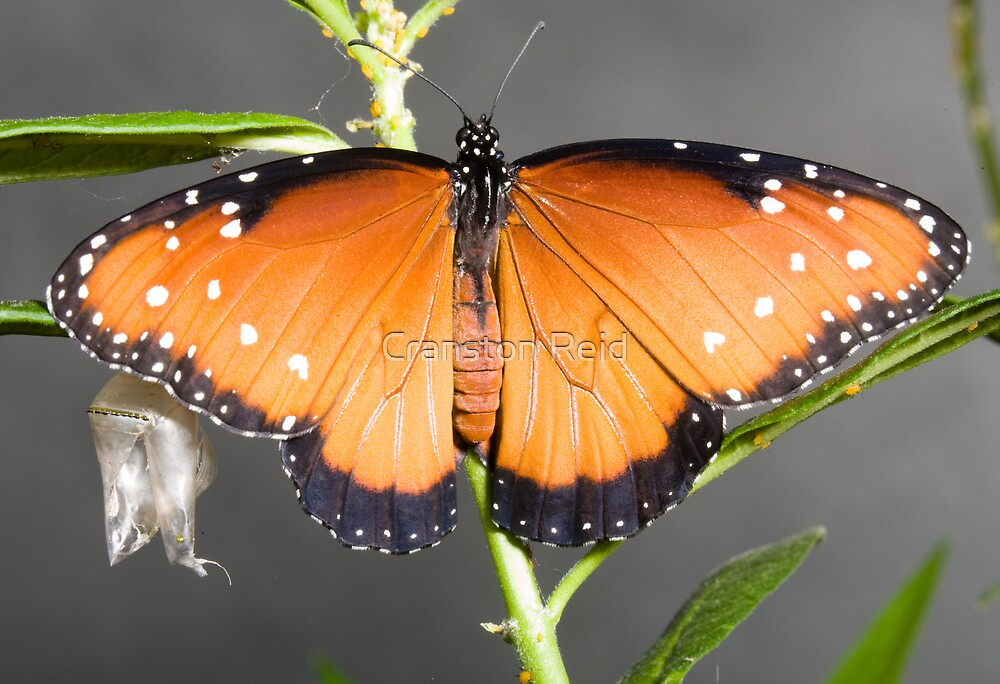 Queen Monarch almost ready for flight by Cranston Reid
