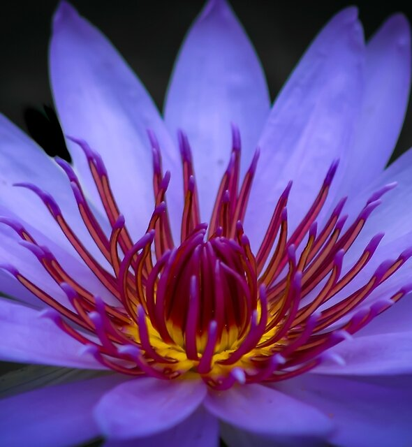 Pretty Purple Lotus Blossom  by stunningfotos