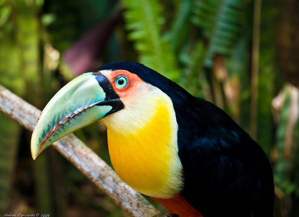 portrait of a toucan  by Andrea Rapisarda