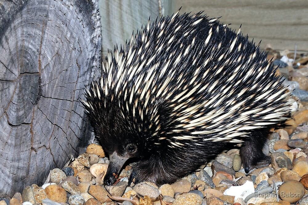 There's a Echidna in my Backyard by Stephen Balson