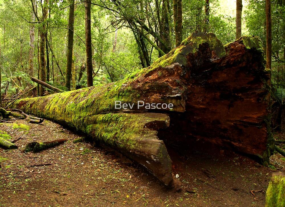 Tasmanian Forest near Russell Falls by Bev Pascoe