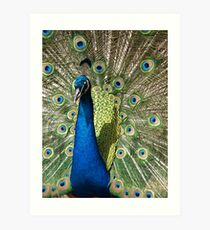 Obligatory Cliched Peacock Shot Art Print