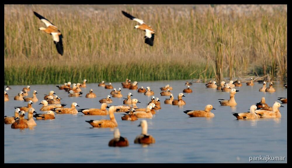 Rudy Shell Ducks by pankajkumar