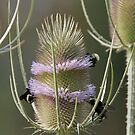 Common Teasle with Bees- 5846 by BartElder