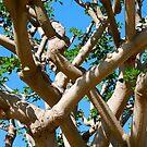 Ficus Tree by Pamela Hubbard