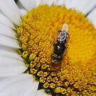 Insect on Daisy by Julie Sherlock