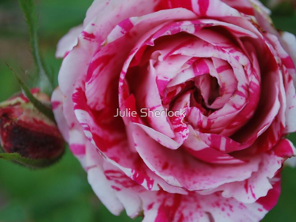 Rosa 'Scentimental' by Julie Sherlock