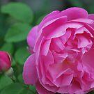 Rosa 'Mary Rose' by Julie Sherlock