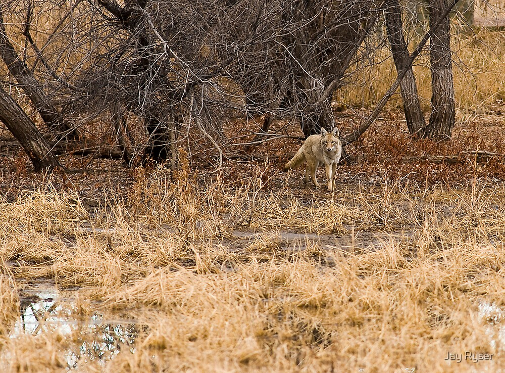 The Coyote Project Continues by Jay Ryser