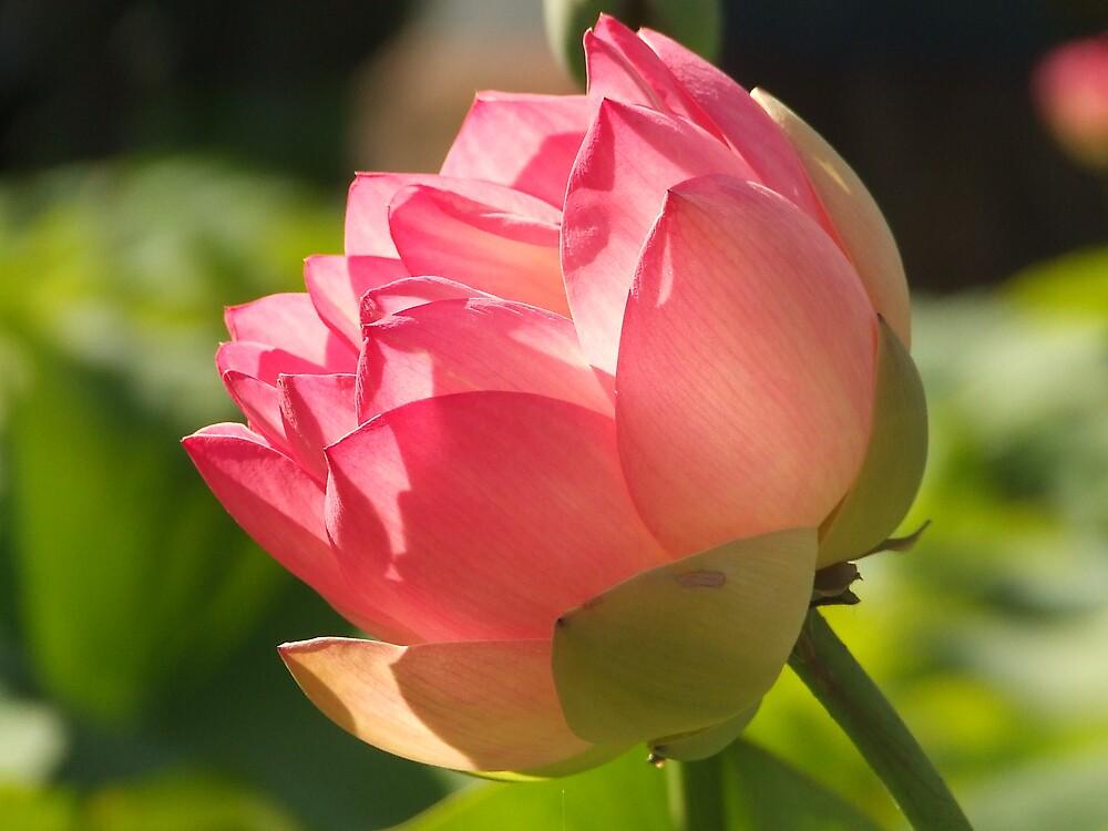 Lotus Flower by rallynut