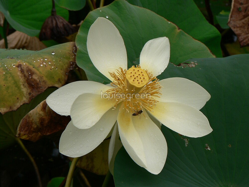 Lotus With Bee by louisegreen